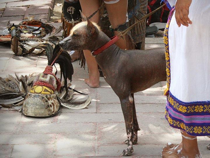 порода Мексиканская голая собака