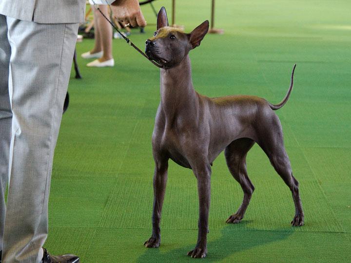 Мексиканская голая собака на выставке