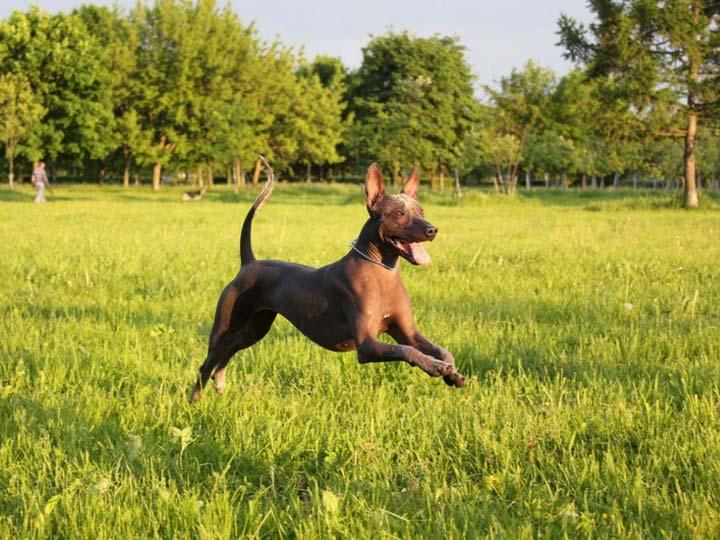 Ксолоитцкуинтли порода собак фото