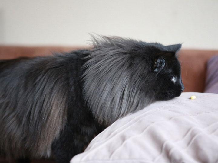 черная Норвежская лесная кошка