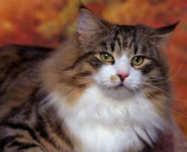 кошки породы скогкет