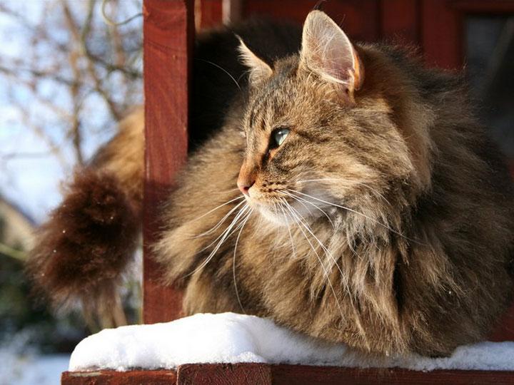 порода кошек скогкет
