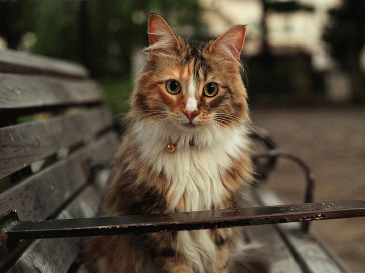 молодая Норвежская лесная кошка