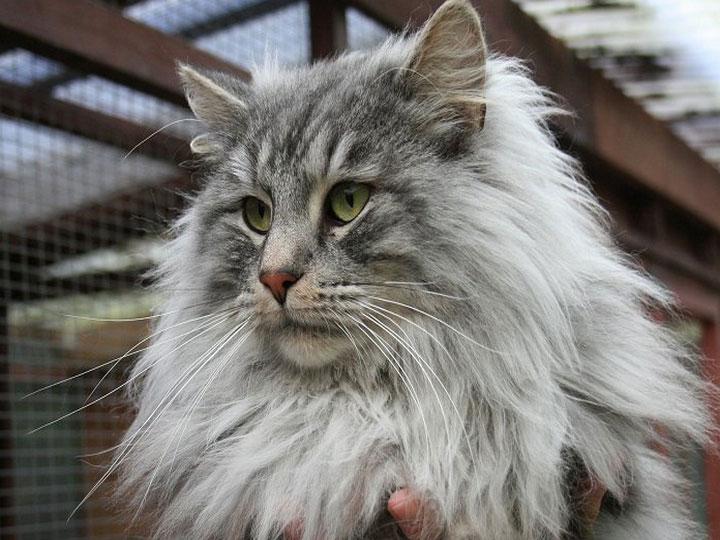 как выглядит Норвежская лесная кошка