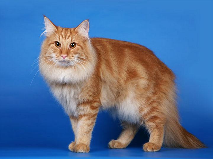 рыжая Норвежская лесная кошка