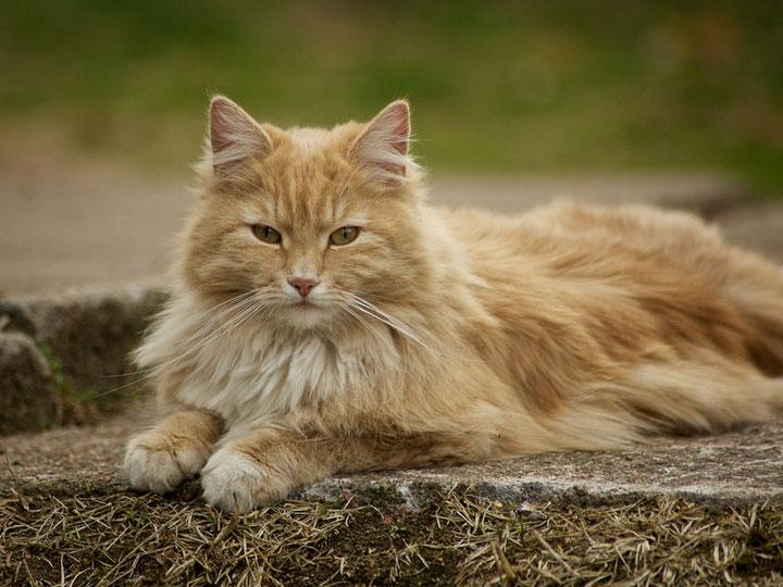 порода кошек веги