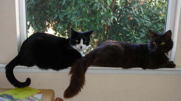 йоркская шоколадная кошка и домашняя кошка