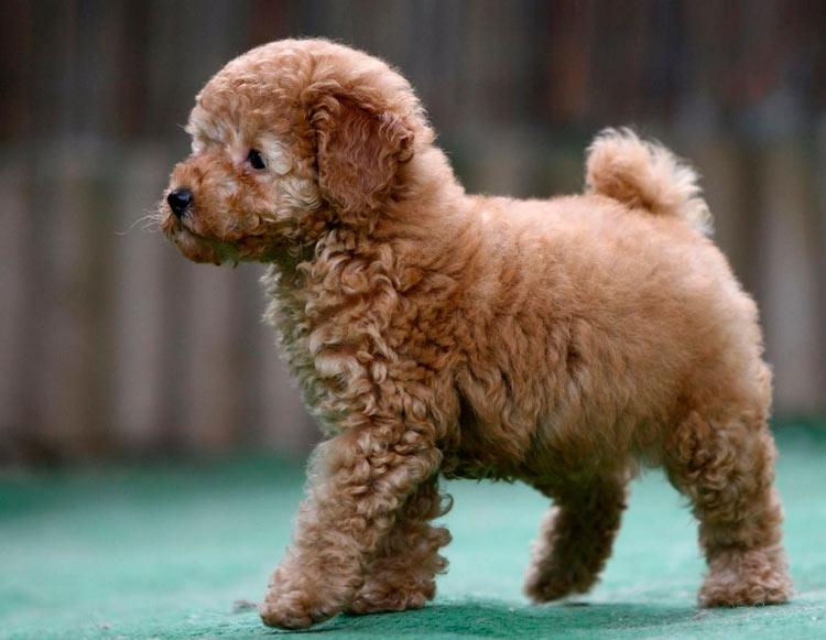 щенок пуделя