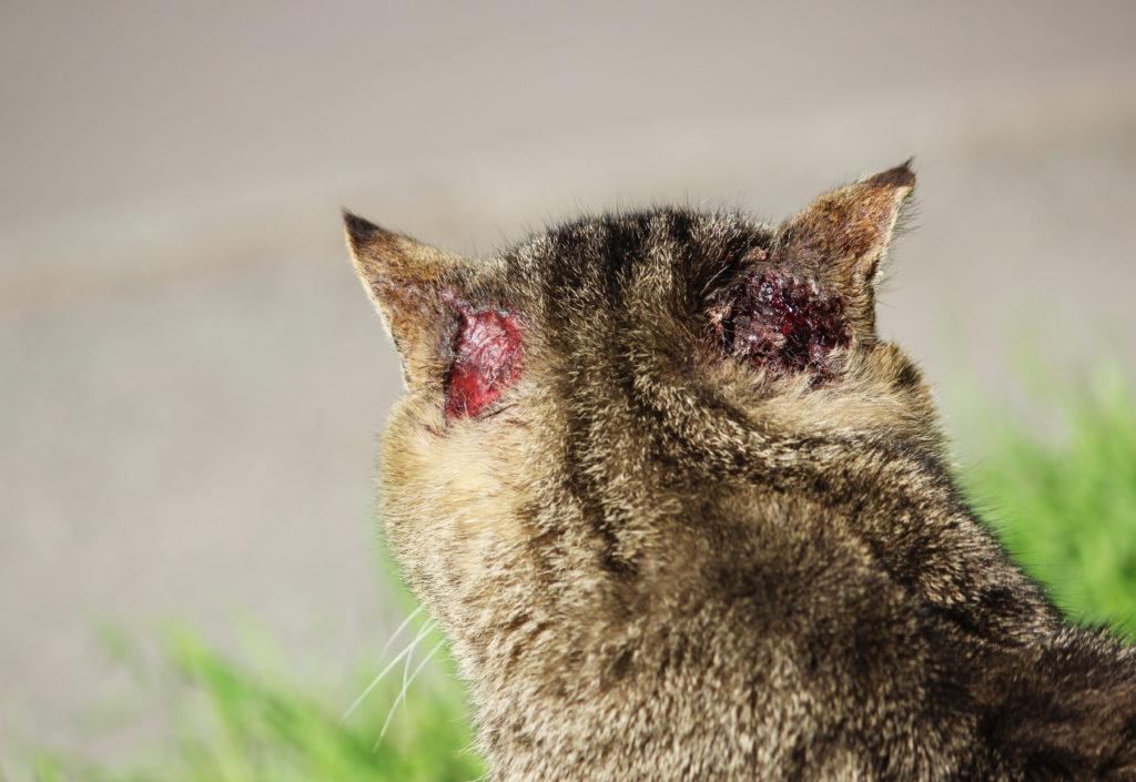 Паразит у кошек - Scabies