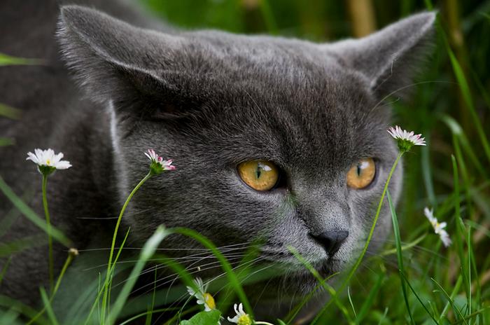 британская кошка в траве