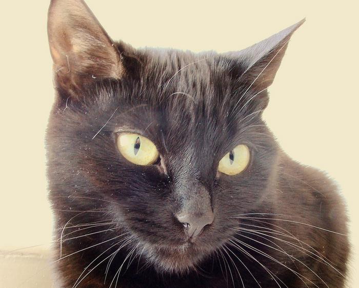 йоркская шоколадная кошка крупным планом
