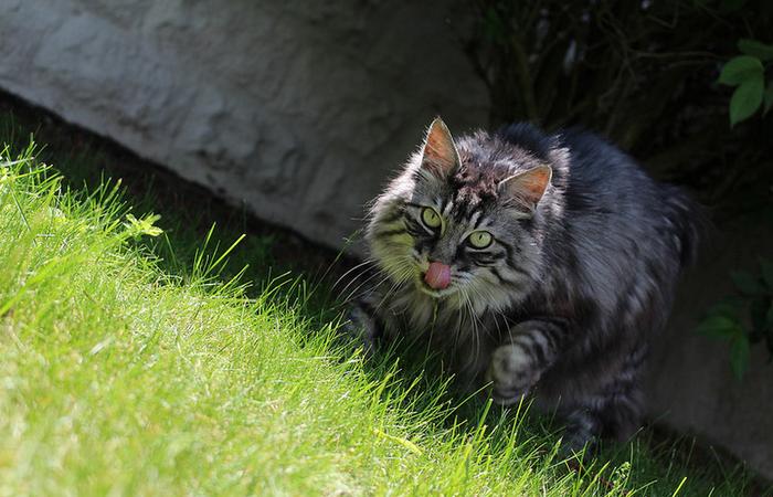 Курильский бобтейл в траве
