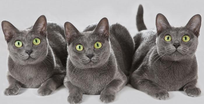 3 кошки породы Корат