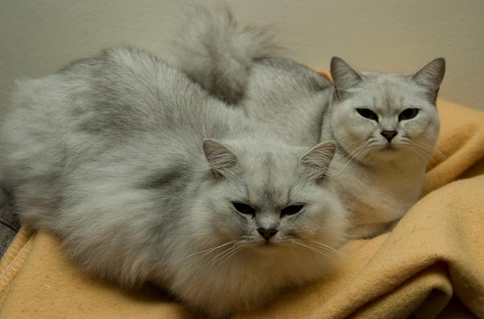 бурмилла кошка длинношерстная