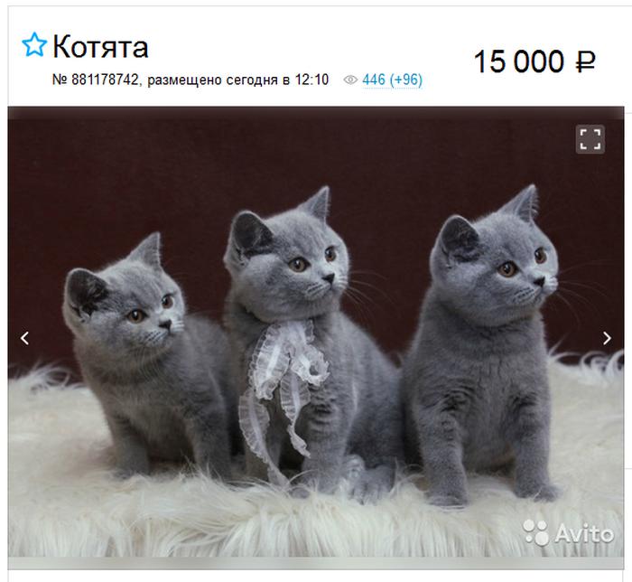 британские короткошерстные котята - цена