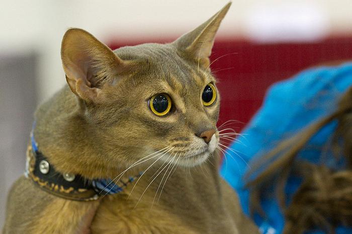 абиссинская кошка серого окраса
