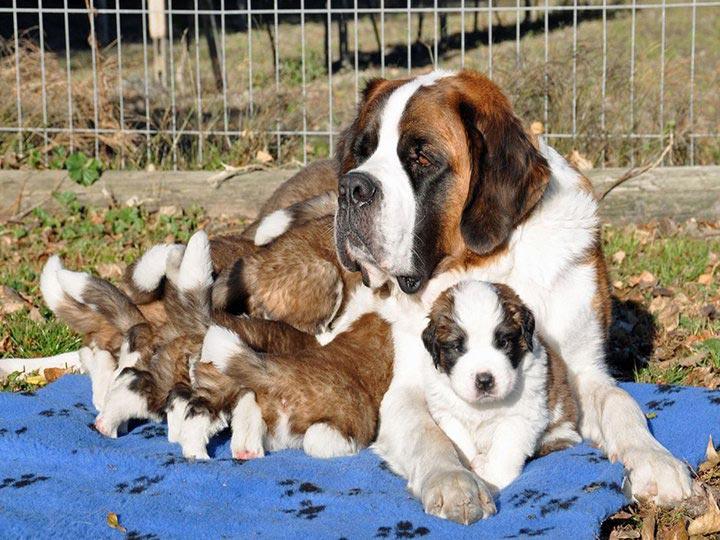 сенбернар мама со щенками
