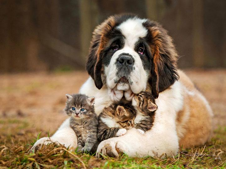 Щенок сенбернара с котятами