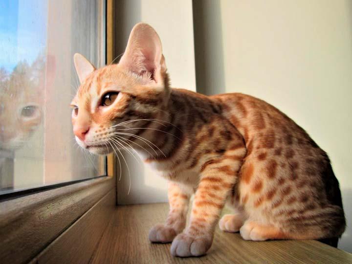 рыжий котенк серенгети