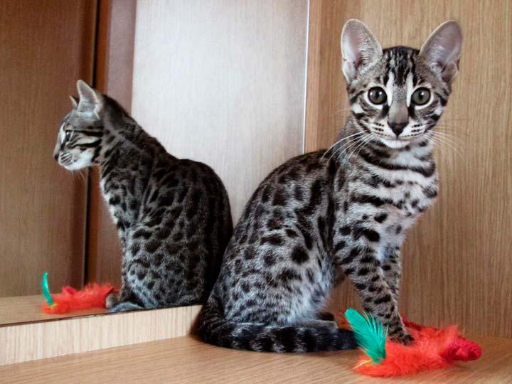 цена котенка серенгети