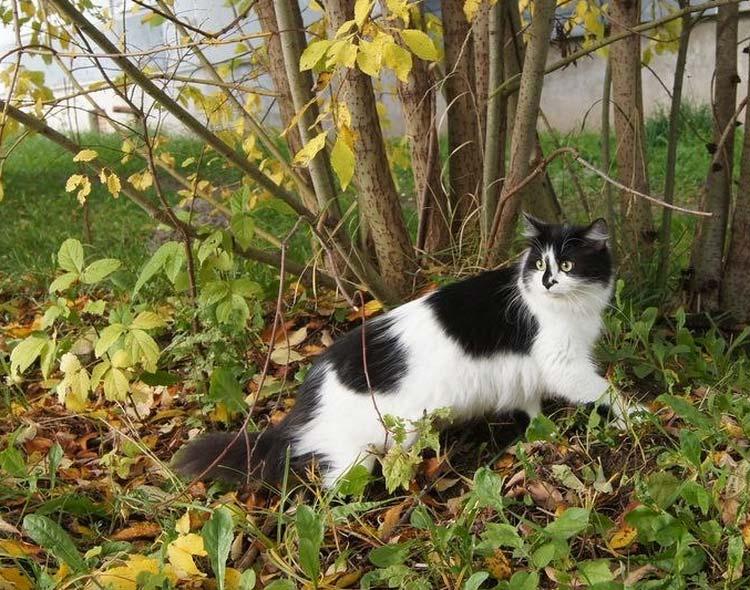 Сибирский кот гуляет