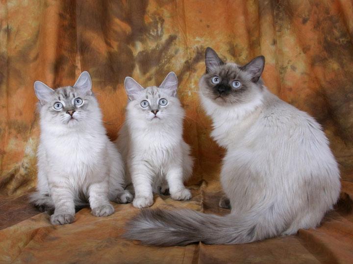 сибирские коты окраса колор пойнт