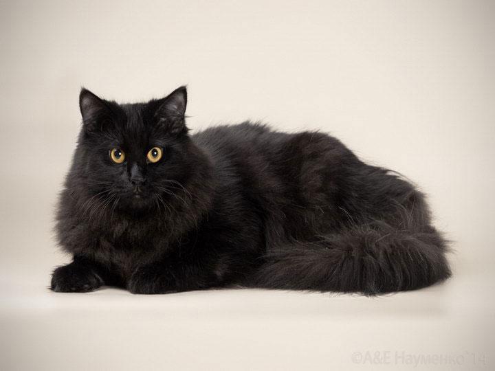сибирские коты фото черные