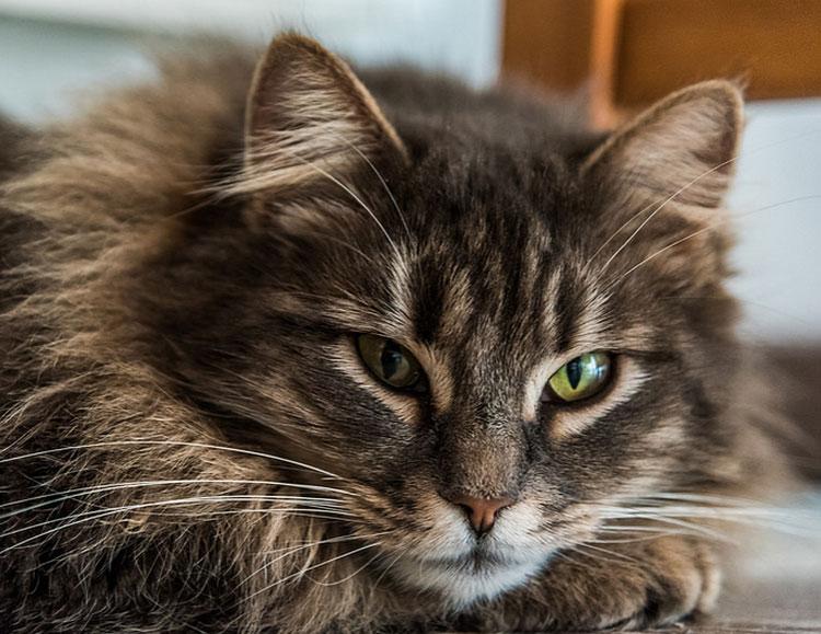 красивые картинки кошек Сибирских