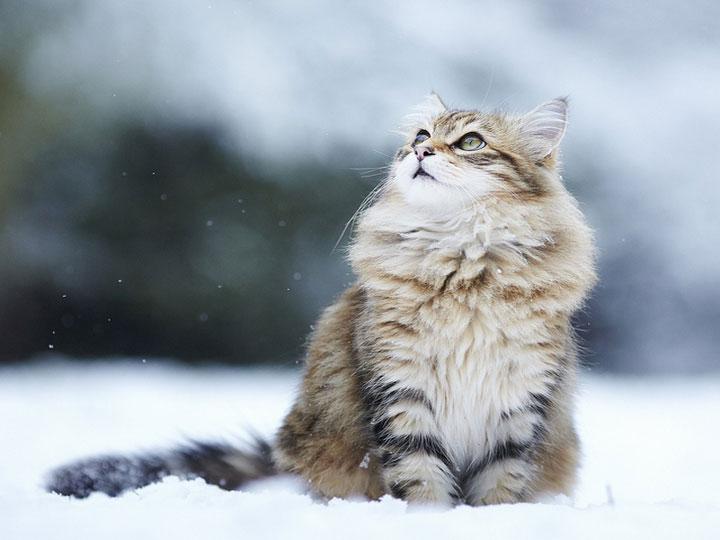 Сибирская кошка в снегу