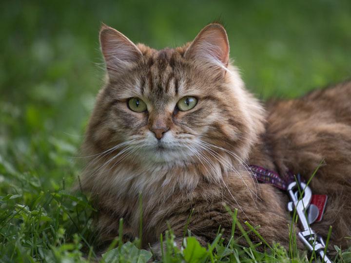 красивый Сибирский кот