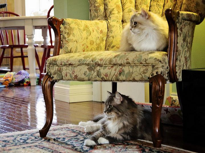 Сибирские кошки в доме
