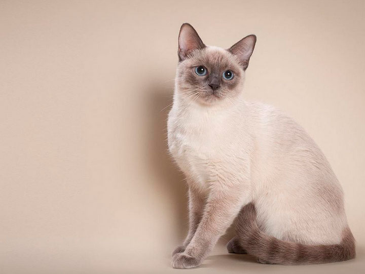 тайская кошка цена