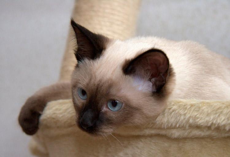 тайская кошка дома