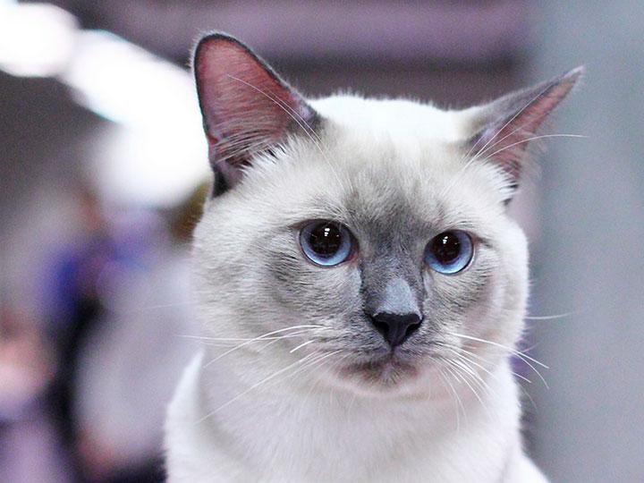 сколько стоит тайский кот