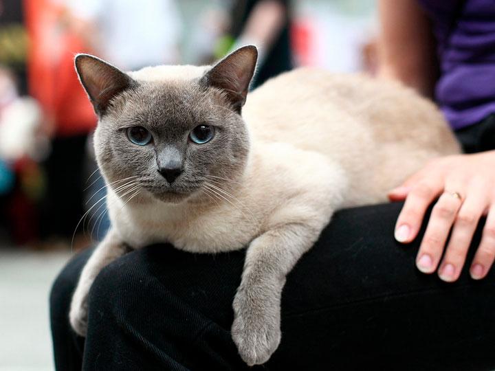 тайскай кошка на выставке