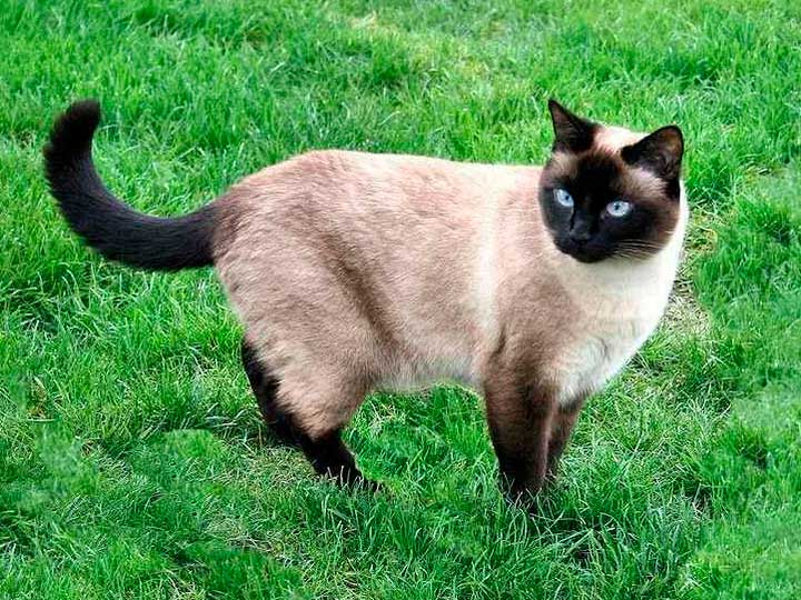 тайский кот характер