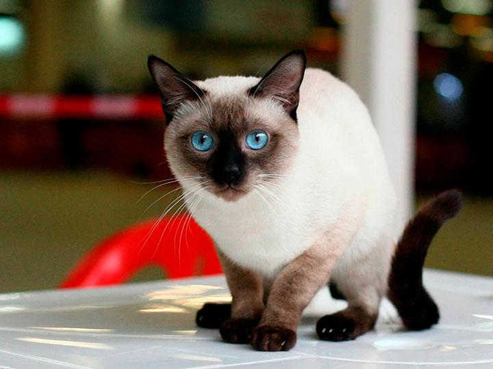тайские кошки фото