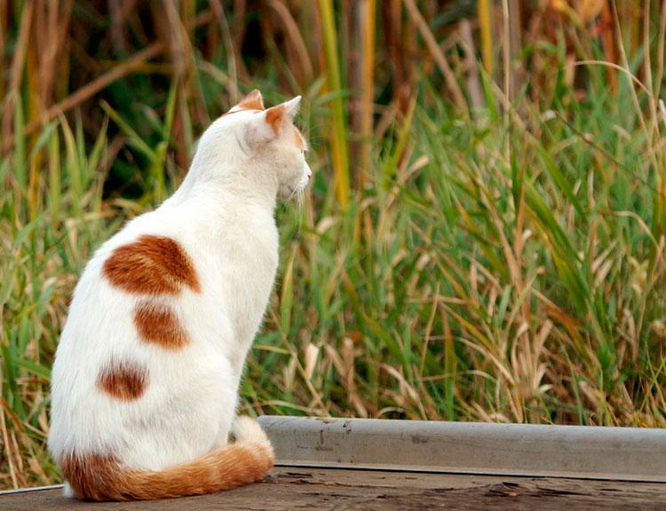 кот породы Турецкий ван
