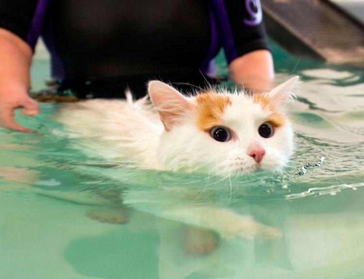 Турецкий ван плавает