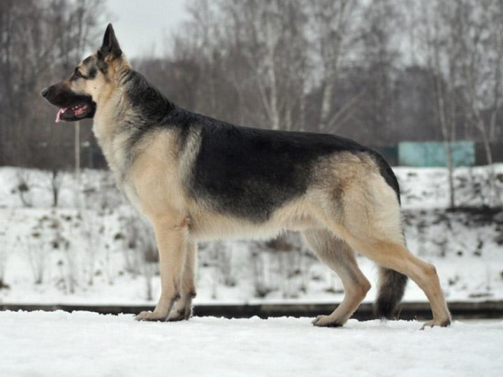 Восточно-европейская овчарка зимой