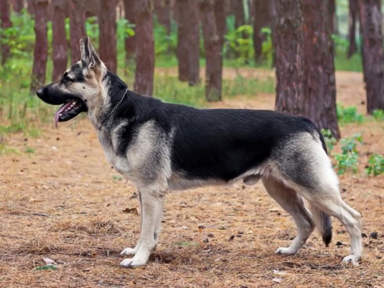 Восточно-европейская овчарка в лесу
