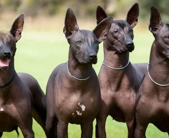 четыре Мексиканских собаки
