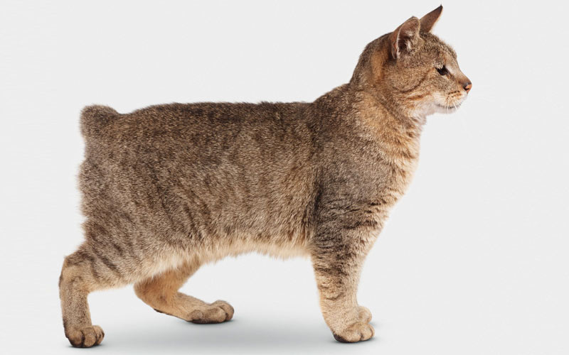 Американский бобтейл - экстерьер кошки
