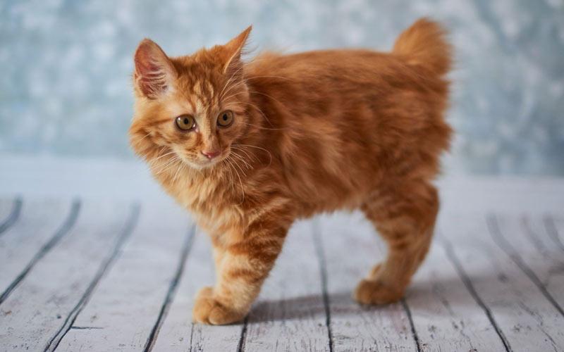 Как выбрать котенка американского бобтейла