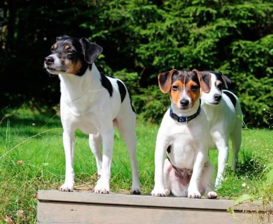 собаки датско-шведские фермерские