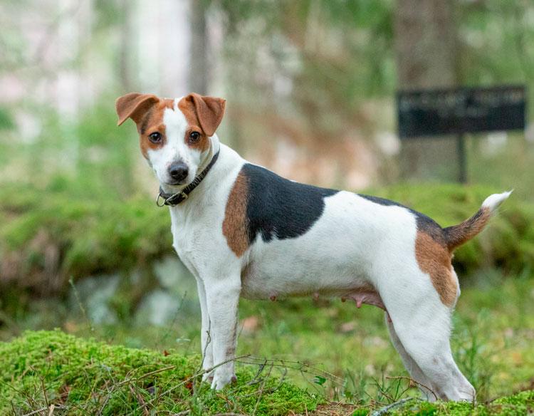 порода датско-шведская фермерская собака