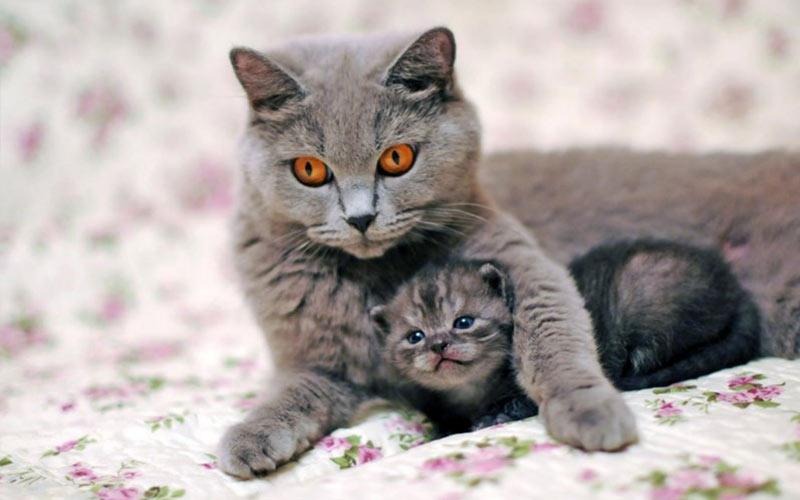 Несовместимость группы крови у кошки и котенка