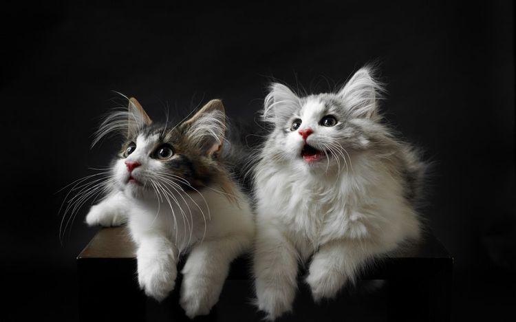 Два кота мейн-куна