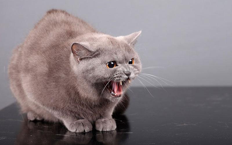 как подружить двух котов в доме