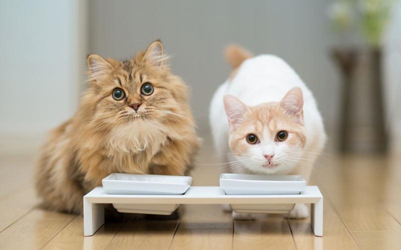 Два кота в доме - как примирить, правила сосуществования